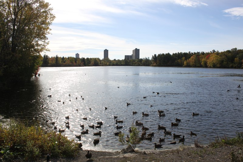 Ottawa pond geese calm nature park walk.JPG
